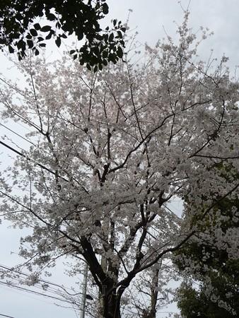 130326-桜 (7)