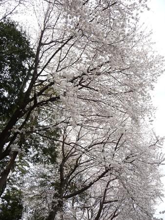 130326-桜 (15)