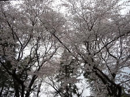 130326-桜 (18)