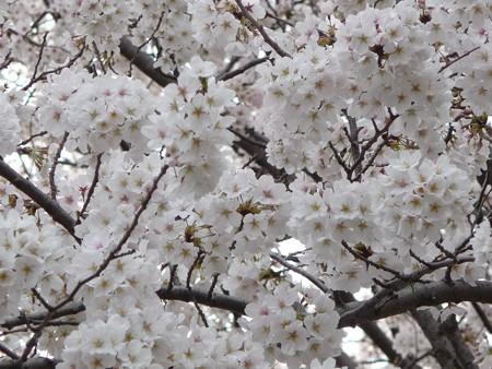 130326-桜 (19)