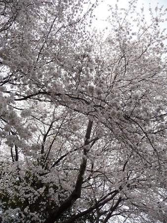130326-桜 (20)