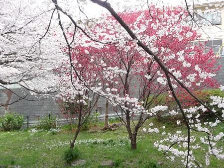 130329-大和 千本桜 (6)