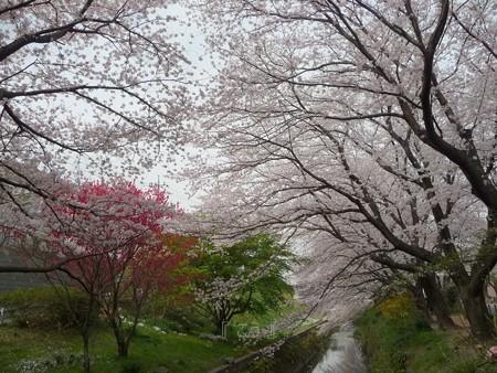 130329-大和 千本桜 (7)