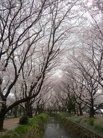 130329-大和 千本桜 (10)