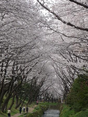 130329-大和 千本桜 (23)