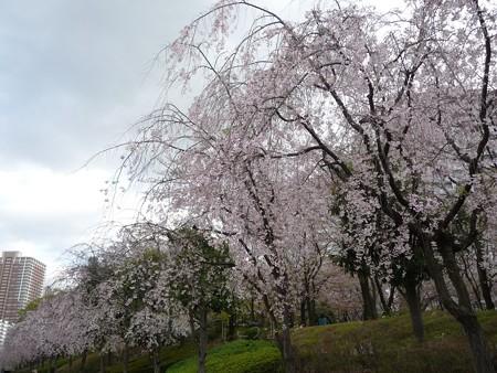 130404-川口の桜 (8)
