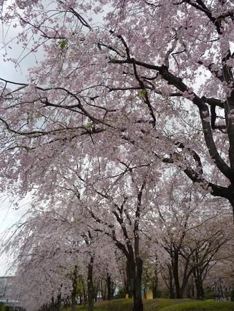 130404-川口の桜 (10)