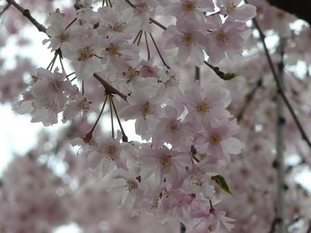 130404-川口の桜 (12)