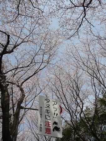 140401-桜 海軍道路 (17)