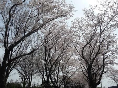 140401-桜 海軍道路 (30)