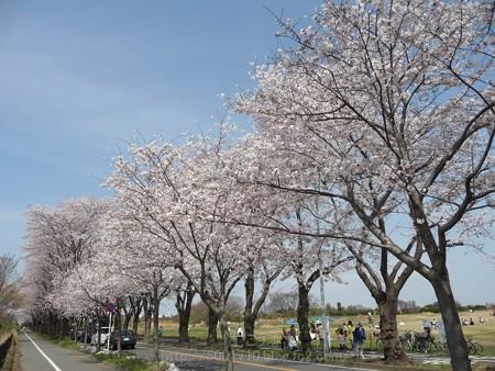 140401-桜 海軍道路 (49)
