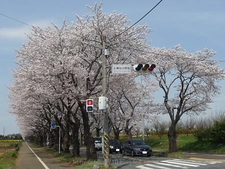 140401-桜 海軍道路 (57)