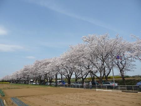 140401-桜 海軍道路 (62)