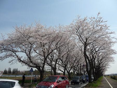 140401-桜 海軍道路 (96)