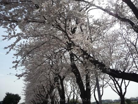 140401-桜 海軍道路 (109)