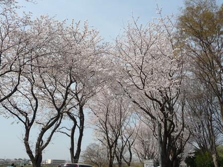 140401-桜 海軍道路 (123)