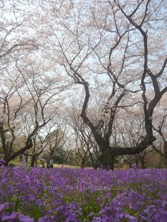 140408-昭和記念公園 (28)