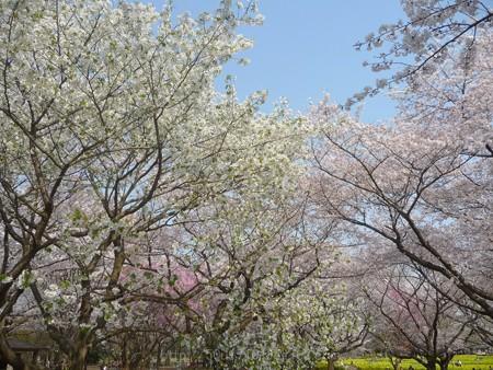 140408-昭和記念公園 (33)