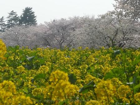 140408-昭和記念公園 (67)