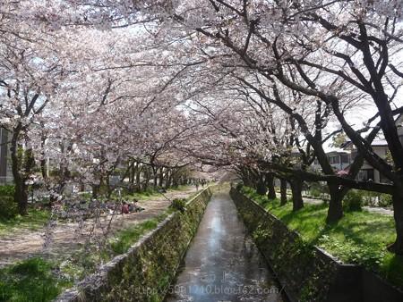 140407-千本桜 (23)