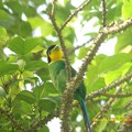 Photos: LongtailedBroadbill869signed