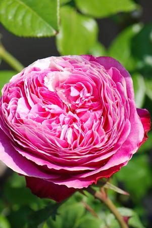 ユウゼンの花弁