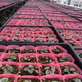 シクラメン栽培農家の7月の生育状況