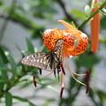 オニユリにアゲハチョウ