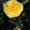 Photos: 品種不明イエロー花と蕾1.27
