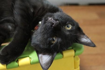 子猫 ミムさん 里親募集中 石川 富山 福井
