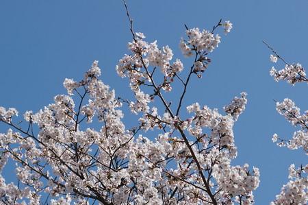 【さくら満開 写真】西公園 桜 福岡 2014年3月28日撮影 (7)