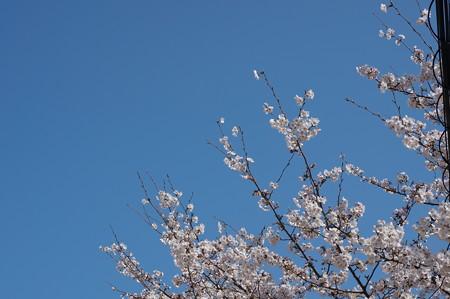 【さくら満開 写真】西公園 桜 福岡 2014年3月28日撮影 (8)