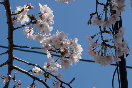 【さくら満開 写真】西公園 桜 福岡 2014年3月28日撮影 (9)