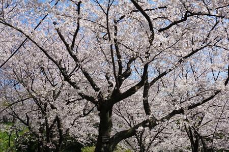 【さくら満開 写真】西公園 桜 福岡 2014年3月28日撮影 (21)