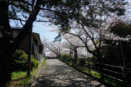 【さくら満開 写真】西公園 桜 福岡 2014年3月28日撮影 (27)