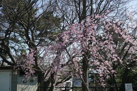 【さくら満開 写真】西公園 桜 福岡 2014年3月28日撮影 (36)