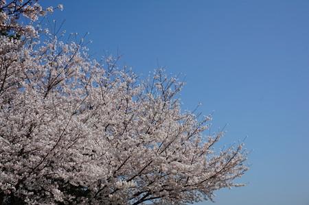 【さくら満開 写真】西公園 桜 福岡 2014年3月28日撮影 (58)