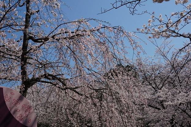 【さくら満開 写真】西公園 桜 福岡 2014年3月28日撮影 (78)