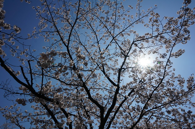 【さくら満開 写真】西公園 桜 福岡 2014年3月28日撮影 (79)
