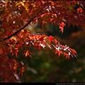 Photos: やっと色づく紅葉