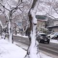 Photos: 風雪の痕跡・桜並木01-12.11.27