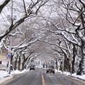 Photos: 風雪の痕跡・桜並木02-12.11.27