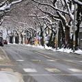 Photos: 風雪の痕跡・桜並木03-12.11.27