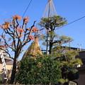 Photos: 雪吊り01-12.11.28