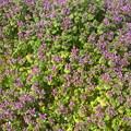 Photos: 春告げる赤紫と緑のホトケノザ