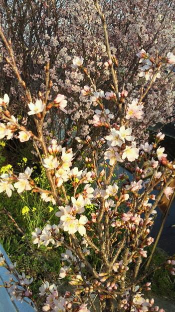 小野川の桜2013.3.12その2