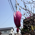 Photos: 木蓮