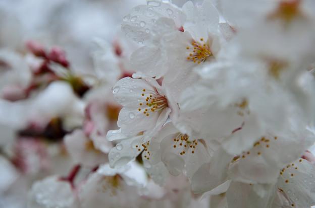Photos: 雨濡れ桜