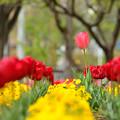 Photos: 春色チューリップ