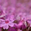 芝桜の花弁